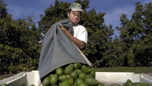 Avocado-5-Picking-Bags