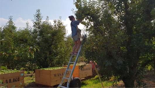 FruitandVeg-4-Tripod-Picking-Ladders