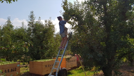 Stonefruit-4-Tripod-Picking-Ladders